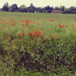 Poppy field Lifestyle flowerlover floweroftheday flowerporn flowerstagram poppy photograph photographylovershellip