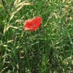 Poppies Lifestyle naturelovers nature natureperfection naturelover flowerlover floweroftheday flowers poppyhellip