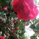 Rain of roses Lifestyle lifestyleblog floweroftheday flowerlover flowersofinstagram roses rosehellip